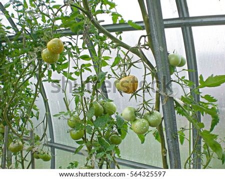 Green Tomatoes Growing Greenhouse Sprayed Fertilizers Stock Photo