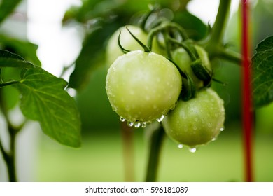 Green tomatoes growing on the vine in the garden