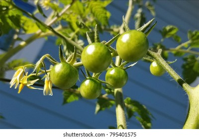 Green tomatoes hang on the vine ready to get ripe veggies and fruits and vegetable plant nature green thumb gardening