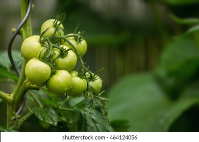 Green tomatoes on the bush with raindrops. Agriculture concept. The concept of a diet program. Detoxification concept