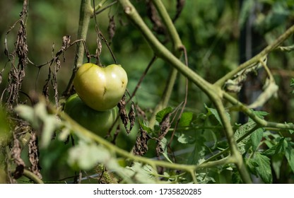 Green tomatoes on the tree waiting to be red