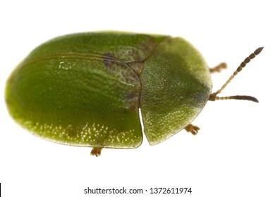 Green tortoise beetle (Cassida viridis) isolated on white.