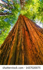 Green Towering Red Tree Redwoods National Park Newton B Drury Drive Crescent City California. Tallest trees in  World, 1000s of year old, size large buildings