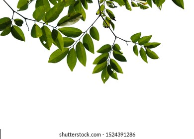 Green tree branch isolated on white background , nature frame background