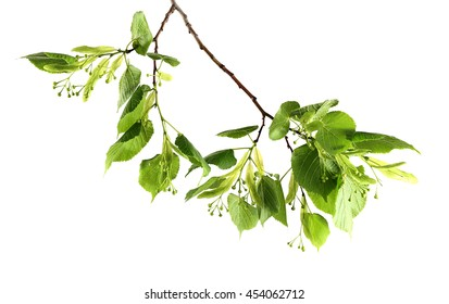Green tree branch, isolated on white