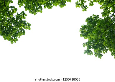 Green tree branch isolated, Texture of the green leaves and white background.