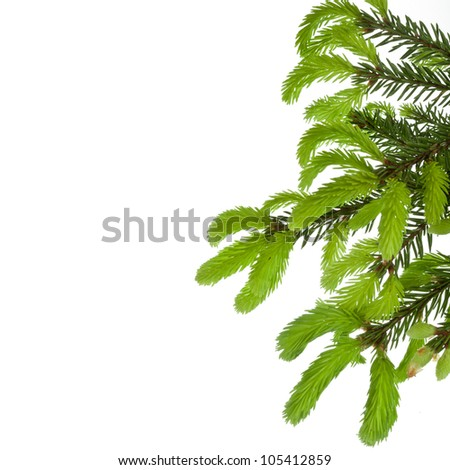 green tree branch with young shoots of pine , border,  isolated on white