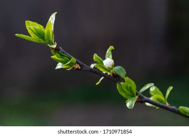 Green tree buds in spring. Young buds on branches against blurred background. View close up. Few buds for spring theme. - Shutterstock ID 1710971854