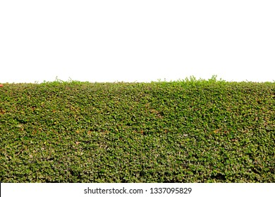 green tree bush or hedge or Green Leaves Wall ,fence isolated on white background