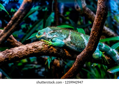 a green tree climbing iguana, resting on a branch