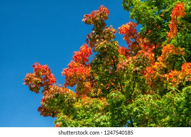 Green tree discoloring to red and orange in autumn