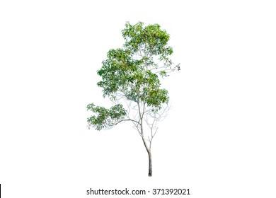 Green tree , eucalyptus tree isolated on white background