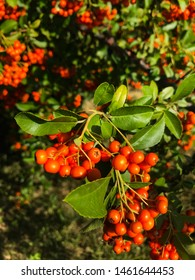 green tree  with fresh bright red ash berries. Beautiful red rowan branch. Autumn nature. Rowan in the sun after rain in forest close up. Autumn green ash berry shrub.