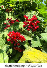 green tree with fresh bright red ash berries in sun beams. Beautiful red rowan branch. Autumn nature. Rowan in the sun after rain in forest close up. Autumn green ash berry shrub.