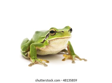 Green Tree Frog isolated on white background. Shallow DOF.