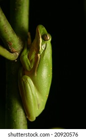 Green tree frog at night