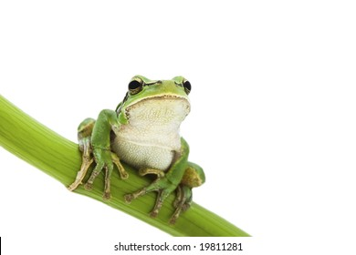 Green Tree Frog on green branch isolated on white background. Shallow DOF.