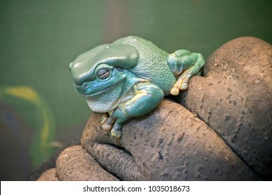 the green tree frog is resting on a branch