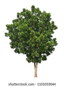 Green tree isolated on white background (Broad Leaf Mahogany, False Mahogany, Honduras Mahogany, Swietenia macrophylla)