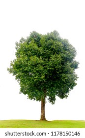 Green tree isolated on white background. This has clipping path.