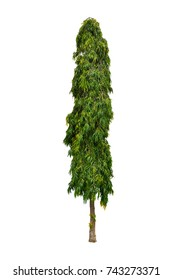 Green tree isolated on white background (Polyalthia longifolia, The Mast Tree, India Ashok), Ornamental garden plant