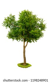 Green tree isolated from white background. And green grass.