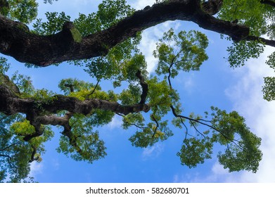 Green Tree with leafs on the blue sky backround