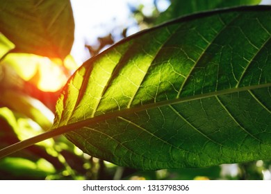 Green tree leaves close-up wih sunshine flare, tropical foliage colorful background