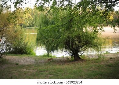 Green tree near a lake.