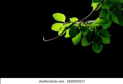 Green tree on dark background .It on sunrise shade in art nature  background