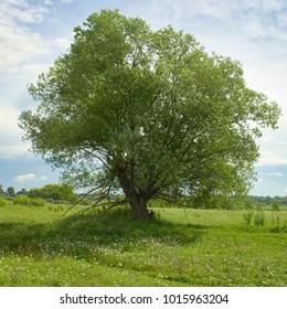 Green tree on the morning summer field.