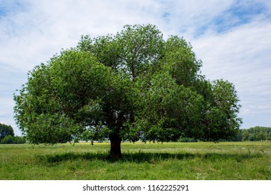 Green tree on tthe sky background