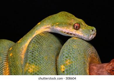 Green Tree Python Adult Morelia viridis