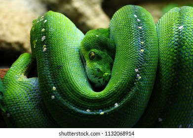 Green tree python animals theme