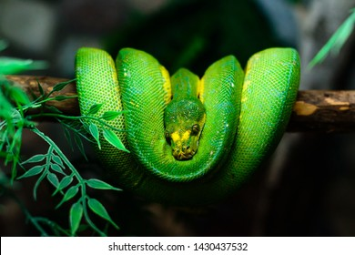 Green Tree Python. The Green Tree Python is an arboreal snake. Close up view of thermosensory pits of the Green Tree Python (Morelia Viridis). Green snake curled up on a branch