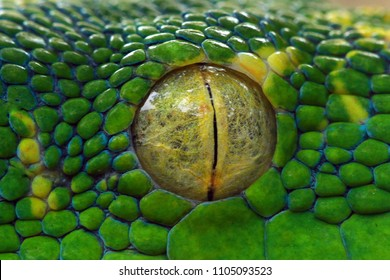 Green tree python eyes, eye, eye snake,