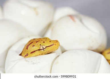 A green tree python hatching out of its egg.