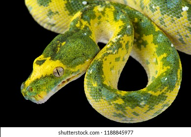 The Green tree python (Morelia viridis) is native to Papua New Guinea,West Papua, Indonesia  and Cape York, Australia