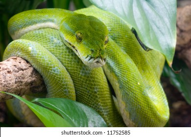 Green tree python on a tree branch