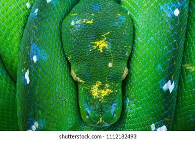 Green tree python, snake, reptile, reptiles closeup