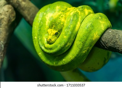 Green tree python wrapped around a dead tree branch