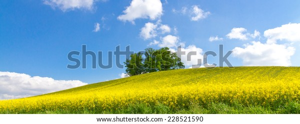 Green  tree in rape field on a spring day