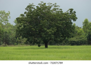 green tree and rice field