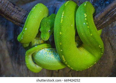 a green tree snake curled on a branch