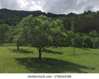 Green Tree in Summer under Grey Sky