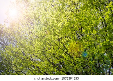 Green tree with the sun
