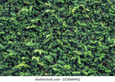 Green tree wall for closeup textured background pattern
