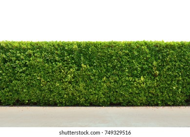 Green tree wall fence with concrete floor isolated on white background for park or garden decorative, (Ficus altissima Korea tree) bush or shrub trimming