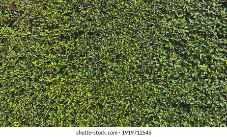 Green tree wall, fence tree, green leaves background