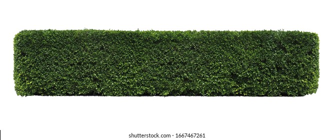 Green tree wall fence, Siamese rough bush, Tooth brush tree, Ornamental plants for decoration  garden. isolated on white background. clipping path.